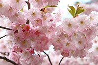 flowering cherry tree in spring