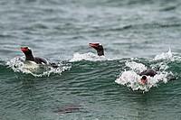 Gentoo Penguin(Pygoscelis papua papua), Saunders Island, Falkland Islands, UK