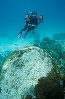 Diver examines bleached Coral, Caribbean Sea, Florida, USA