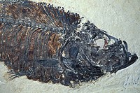 Fossil fish, Eocene Period, Diplomystus dentatus, Green River Formation, Wyoming, USA