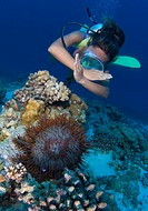Diver and coral_eating Crown of Thorns, Acanthaster planci, Ngulu Atoll, Caroline Islands, Pacific, Yap, Micronesia