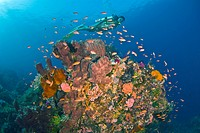 Diver and Colorfully Coral Reef, Komodo, Lesser Sunda Islands, Flores Sea, Indonesia