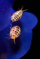 Gammarid Amphipod, Cyproidea, Komodo, Lesser Sunda Islands, Flores Sea, Indonesia