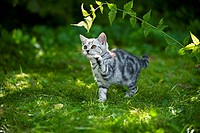 British Shorthair cat _ kitten playing with twig