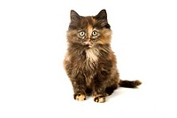 domestic cat _ kitten sitting _ cut out