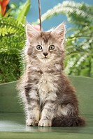 Maine Coon cat _ kitten sitting on a bench