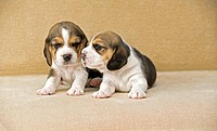 Beagle dog _ two puppies