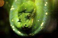 green tree python, acquario di genova, liguria, italy