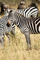 A zebra herd congregates in the Masai Mara in Kenya