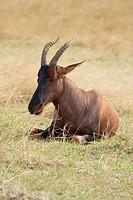 A topi sits on the hot African plains of the Masai Mara