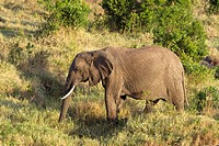 An African elephant walks to a watering hole in the Masai Mara