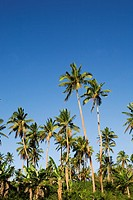 Coconut trees, Tongatapu, Tonga