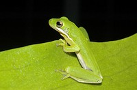 Green Tree Frog Hyla cinerea  Florida