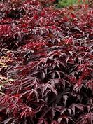 Acer palmatum Inazuma