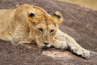 A lion cub rests on top of some rocks in the Masai Mara