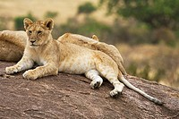 A young lion cub sits on top of some rocks in the Masai Mara