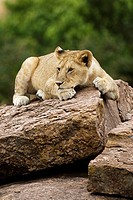 A young lion sits on top of some rocks in the Masai Mara