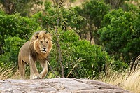 A male lion returns to the pride after days of being away