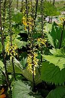 Ligularia Zepter