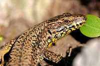 Male of common wall lizard, Podarcis muralis