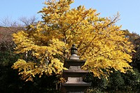 gingko and stone tower