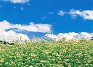 flower, buckwheat flower
