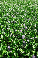 flower, water hyacinth