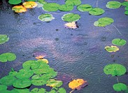 lily pad on the pond