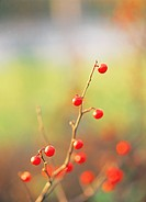 Cherries hung on the boughs (thumbnail)