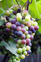 grapes hung on the boughs