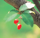 Cornus officinalis fruits hung on the boughs (thumbnail)