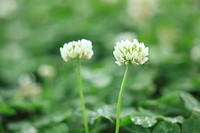 Close_up of clover
