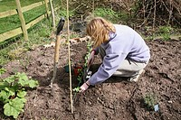 A woman gardener planting small pea plants