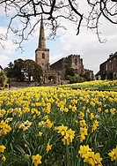 Spring Daffodils on the Village Green with the church in the background at Astbury, Cheshire England UK