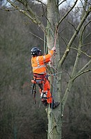 Tree surgeon working up a tree pruning branches with safety harness, chain-saw and hard hat protective clothing