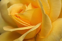 Close up of a yellow Rose 'Keep Smiling' flower