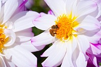 willamette valley, oregon, united states of america, a bee on a dahlia flower