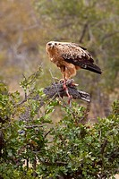 Tawny Eagle Aquila Rapax with a Helmeted Guineafowl as prey Numida Meleagris  June 2009, winter  Balule Private Nature Reserve, York section  Greater ...