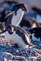Adelie penguins Pygoscelis adeliae with newly hatched chick, Paulet Island, Antarctic Peninsula, Antarctica