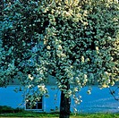 Tree blooming in front of a building, Vancouver Island, British Columbia, Canada