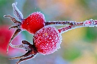 Close_up of berries, Saanich Peninsula, Vancouver Island, British Columbia, Canada