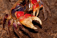 Fiddler Crab at the Mangrove swap at Umlalazi  June 2009  Winter  Umlalazi Nature Reserve, Kwazulu-Natal, South Africa