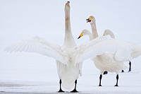 Whooper Swans communicating  Spring 2010  Kuusamo area, Finland