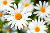 blossom, flowers, flower meadow, flourish, blossoms, flourishes, petal, petals, color, field, freshness, spring, Leucanthemum vulgare, marguerites, ma...