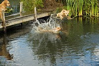 three Golden Retriever dogs jumping into water