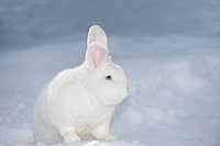Vienna White Rabbit in snow