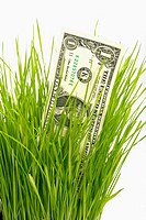 Organic wheat grass growing in a container with a USA $1 dollar growing with it