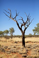 Bare tree in an arid Landscape, Uluru Kata Tjuta National Park, Australia