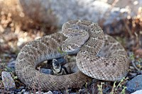 Western diamondback rattlesnake Crotalus atrox, Arizona, USA, close_up