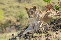 Lioness, Panthera leo, Masai Mara, Kenya